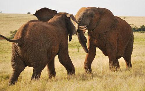 Cuộc chiến của những con voi đực châu Phi. Ảnh: ST.