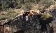 Mải tranh hươu, đàn chó săn rơi hàng loạt xuống vách đá