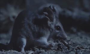 Cuộc tử chiến trong bóng đêm giữa bọ cạp và thú có túi