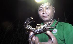 Người đàn ông một tay bắt hàng trăm con cua đá mỗi đêm