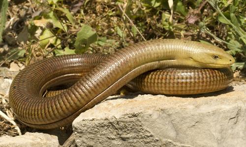 Loài thằn lằn không chân dễ bị nhầm với rắn