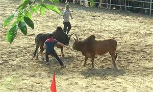 Hội chọi bò ở miền núi Nghệ An