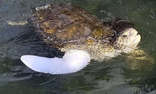 Rùa biển bị thương được gắn chân giả sau 20 năm