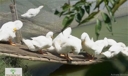 Vịt Vân Đình ngọt thịt nhờ ăn ngũ cốc và tắm nước sạch