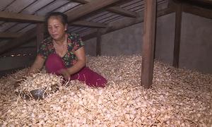 Hơn 200 tấn tỏi Lý Sơn tồn đọng dù giá giảm mạnh