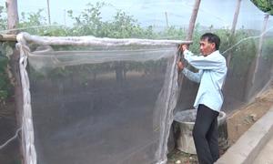 Trùm lưới vườn táo cho năng suất cao ở Ninh Thuận