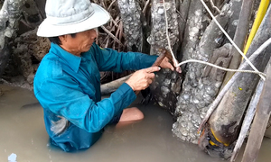 Lội sông đục hàu bám trên bẹ dừa nước ở miền Tây