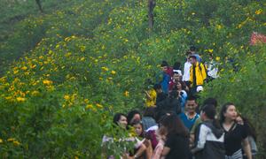 Du khách đổ về ngắm hoa dã quỳ ở núi rừng Ba Vì