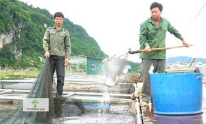 Thu trăm tấn cá mỗi năm từ mô hình nuôi VietGap trên lòng hồ Hòa Bình