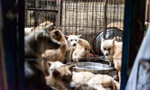 Hàn Quốc đóng cửa lò mổ chó lớn nhất đất nước