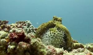 Bạch tuộc chật vật ăn thịt cá nóc đầy gai dưới đáy biển