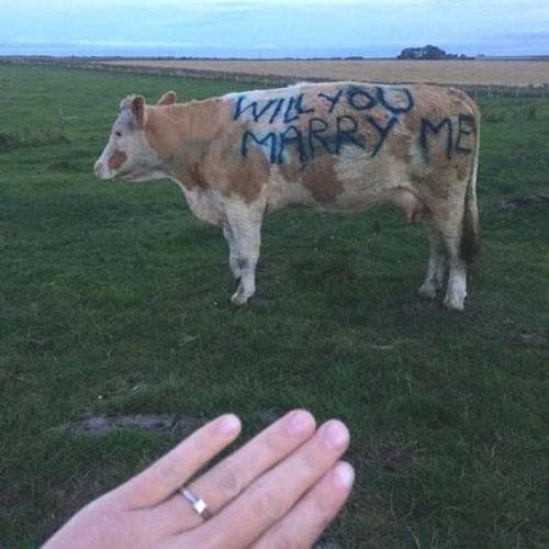 Cầu hôn phong cách chăn bò.