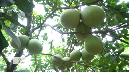 Những vườn thanh trà cứ độ tháng 7 âm lịch bắt đầu chín thơm.Ảnh: Biz Media