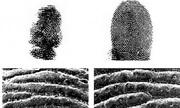 Loài động vật nào có dấu vân tay giống con người?
