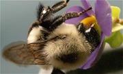 Bí quyết hút phấn hoa của ong nghệ