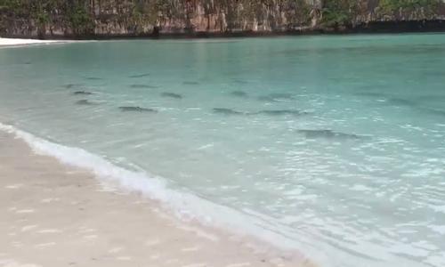 Cá mập ùa về sau khi bãi biển Thái Lan cấm du khách
