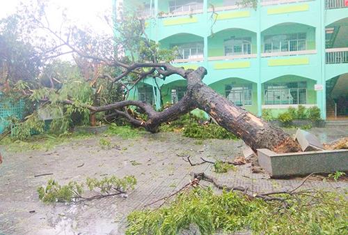Cây hàng chục năm ở Trường Tiểu học Hòa Bình (TP Vũng Tàu) bị bật gốc do bão. Ảnh: Huy Thành.