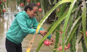 180 ha thanh long Bình Thuận bị ngập trước kỳ thu hoạch