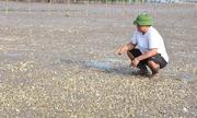Hàng trăm tấn ngao ở Nghệ An chết chưa rõ nguyên nhân