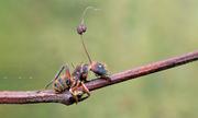 Loài nấm ký sinh có thể điều khiển hành vi của kiến