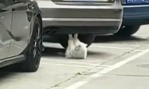 Mèo 'gập bụng' dưới gầm xe gây sốt ở Trung Quốc