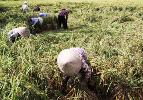 Nhân công buộc các bụi lúa bị đổ ngã để máy gặt đập tiện cắt. Ảnh: Hoàng Nam