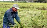 Gần 10.000 ha lúa ở miền Tây bị ngã do bão Usagi