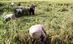 Nông dân miền Tây chi tiền triệu mỗi ngày thuê người buộc lúa