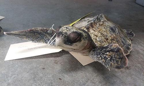 Một con rùa biểnKemps ridley bị sốc lạnh. Ảnh: MNN.