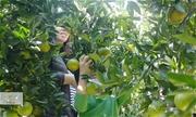 Vườn quýt Mường Khương mở cửa cho khách vào ăn, hái quả
