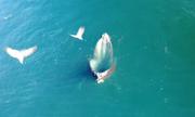 Chiến thuật 'bẫy cá' thông minh của cá voi lưng gù