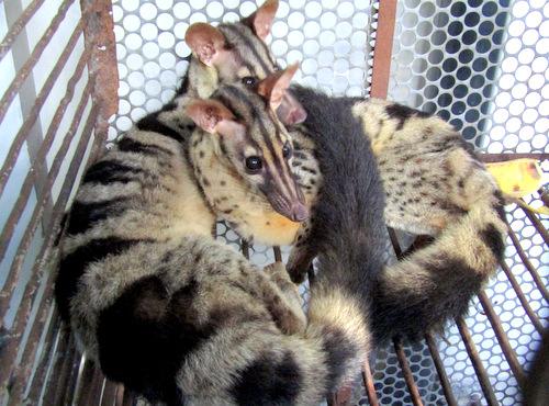Hai con cầy vằn tại trụ sở Hạt Kiểm lâm TP Vũng Tàu. Ảnh: Nguyễn Khoa