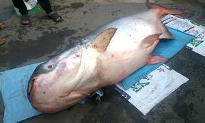 Cá tra dầu 240 kg chết khi mắc lưới ngư dân Campuchia