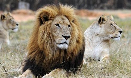 Nhóm người Việt ở Nam Phi bị cáo buộc giết 40 con sư tử