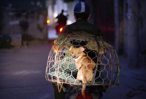 Chó thả rông bị bắt 'trong 3 phút' ở Hà Nội