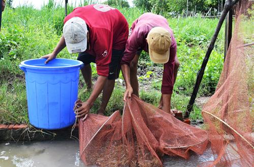 Nông dân Cà Mau thu hoạch tôm sinh thái dưới tán rừng. Ảnh: Hiếu Trung.