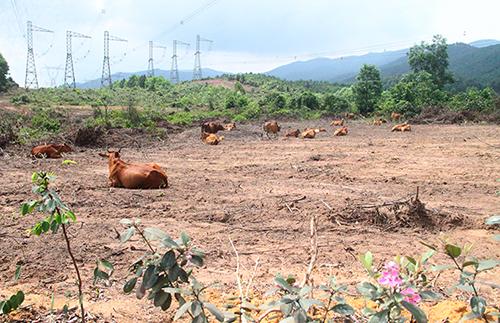 Số lượng bò nhập về của Bình Hà giảm dần theo từng năm, thời điểm này chỉ có hơn 1.000 con. Ảnh: Đức Hùng