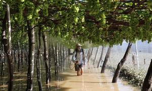 Hàng trăm hecta nho, táo ở Ninh Thuận vẫn ngập trong nước