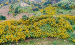 Hoa dã quỳ vàng rực phủ khắp núi đồi Điện Biên