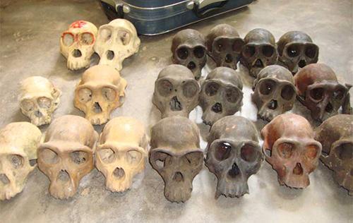 Các đầu sọ bị cảnh sát tịch thu từ một kẻ buôn lậu xương người ở Cameroon năm 2015. Ảnh: LAGA