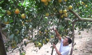 Lão nông Tuyên Quang thu tỷ đồng mỗi năm nhờ cây ăn quả