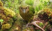 Loài vẹt nặng tới mức không thể cất cánh bay