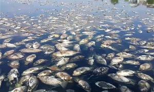Hàng tấn cá chết nổi trên mặt hồ điều hòa ở Nghệ An