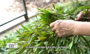 Cây tràm gió 200 tuổi và nghề làm dầu tràm xứ Huế
