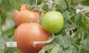 Trồng cà chua trong nhà kính tại Sa Pa cho quả sai lúc lỉu