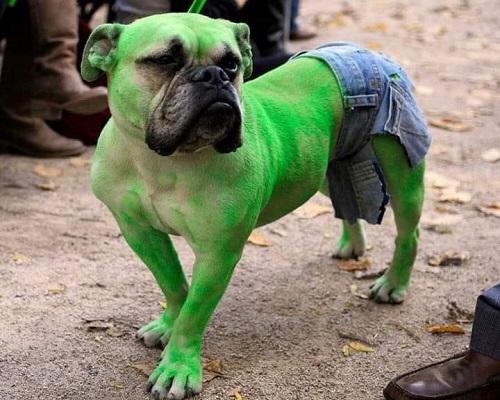 Cún khổng lồ xanh.