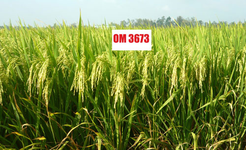 Giống lúa OM 3673 đang sản xuất thử ở Sóc Trăng. Ảnh: ĐN.