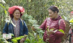 Thuốc tắm trứ danh của người Dao đỏ làm từ 73 loại lá rừng