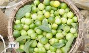 Chanh rừng Mẫu Sơn không cần chăm sóc vẫn xanh tốt, trĩu quả
