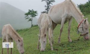 Thảo nguyên ngựa bạch 1.700 con lớn nhất Việt Nam